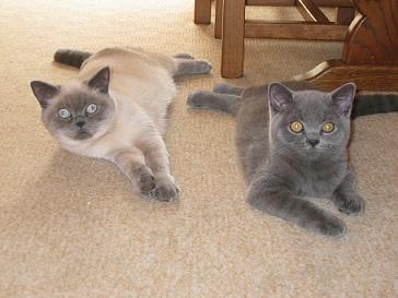 British Shorthair Lilac Colourpoint | www.pixshark.com ...
